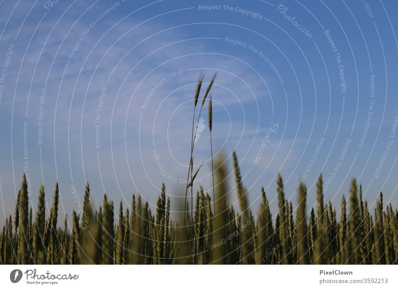 Grain cultivation and above it a bright blue sky Field grain Sky Agriculture Cornfield Food Nutrition Nature Summer Ear of corn Agricultural crop