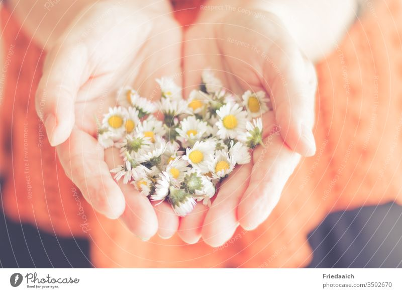 Hands with daisies enchanting little flowers Velvety Smooth hands Donate congratulate Love Delicate blurred Friendship kind turn towards gesture
