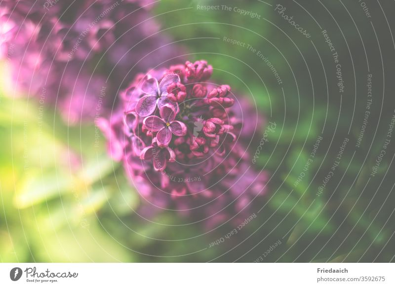 lilac purple Macro (Extreme close-up) Velvety Blur Nature flowers shrub Gorgeous nature photography fragrant