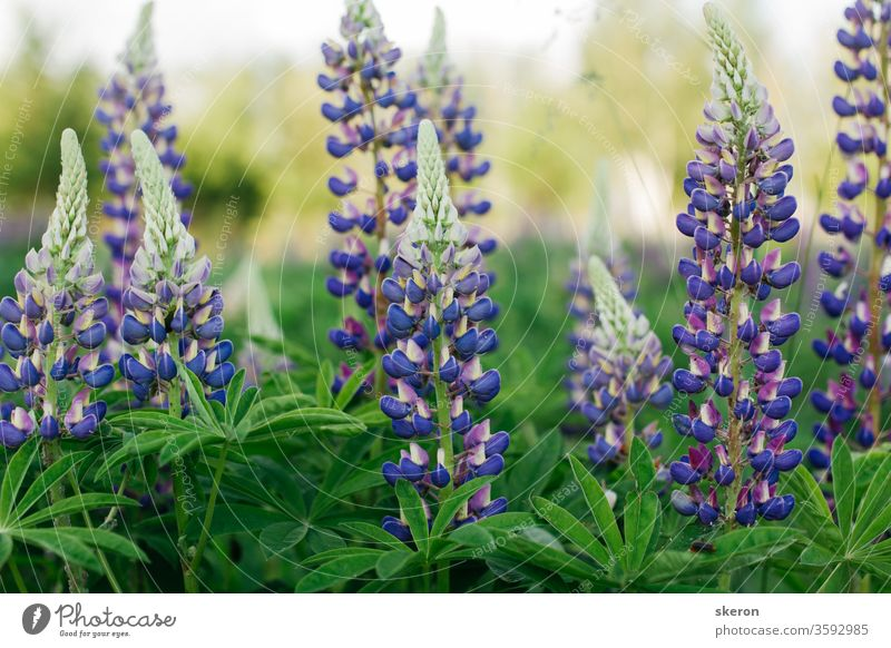 colorful and fresh lupines on the background of the setting sun in the city Park. desktop Wallpapers and gift cards. concept: environmental protection and conservation of rare plants