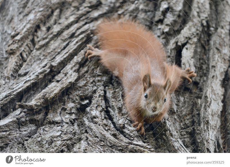 Nature Tree Animal Environment Baby animal Gray Brown Wild animal Cute Climbing Tree bark Squirrel