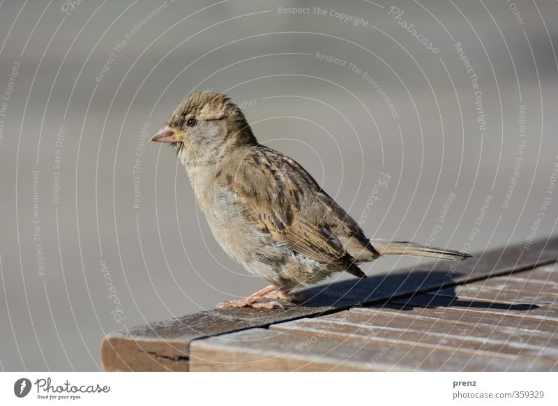 Sitting in the sun Environment Nature Animal Beautiful weather Wild animal Bird 1 Brown Gray Sparrow Stand Colour photo Exterior shot Close-up Deserted
