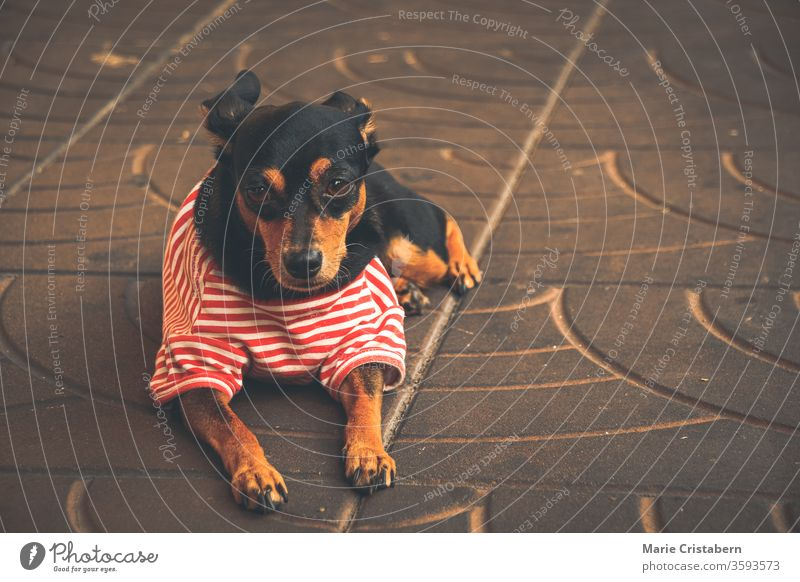 Cute Dachshund wearing a red striped little shirt to show coping ways of home quarantine and social distancing by taking care of pets corona together funny dog