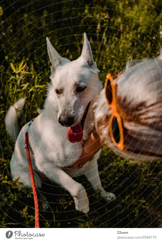 Dog is stroked Pet Caress Affection Love Love of animals Shepherd dog White Summer Sun out Woman girl Paw Pelt already Light Shadow Grass Nature Landscape