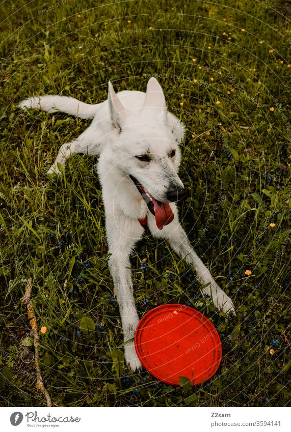 White shepherd dog plays with Frisbee Walk the dog Dog Playing white shepherd dog Shepherd dog frisky Sit Places well-behaved Wait rest Meadow green Nature out
