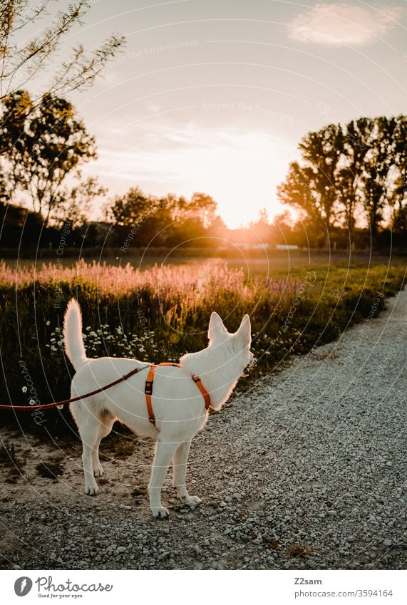 white shepherd dog looking towards the sunset Dog Walk the dog Evening Sun Sunset stroll sunshine Warmth Summer Nature Landscape To go for a walk leash relaxed