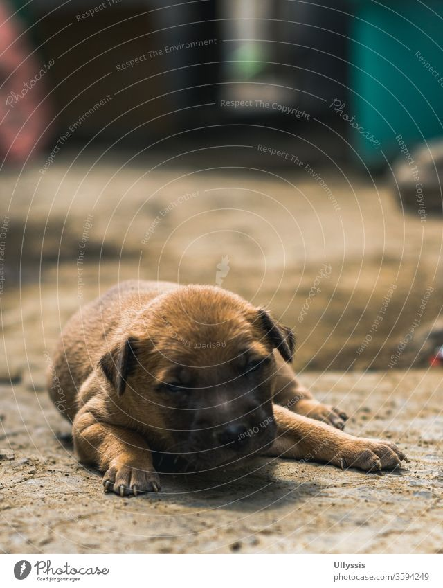 Close- up photo of a newborn puppy lying on the ground outside the house during sunset adorable animal background bear beautiful black breed brown canine cute