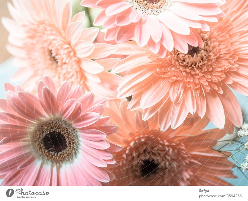 Pink gerbera daisy flowers bouquet pink mothers day wedding womens day background flowers day design pastel floral vintage summer desaturated texture lifestyle