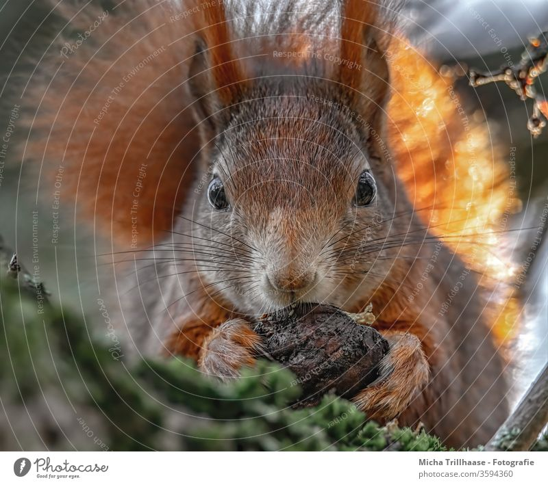 Squirrel with walnut in the paws sciurus vulgaris Animal face Head Eyes Nose Ear Paw Claw Pelt Wild animal To feed To hold on Near Cute tree Sunlight