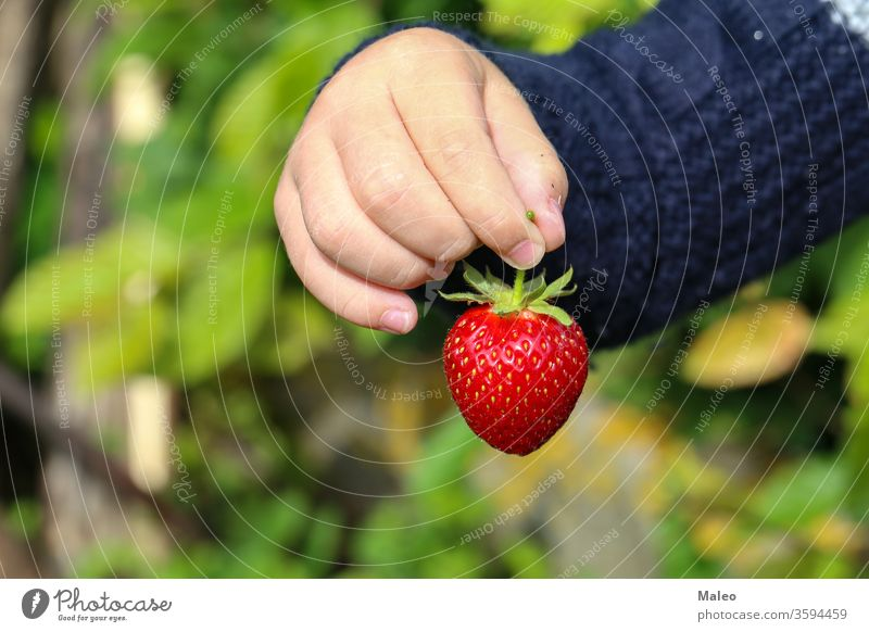 A childs hand holds a large strawberry berry fruit green red ripe tasty agriculture food juicy closeup farm fresh freshness garden holding nature organic summer