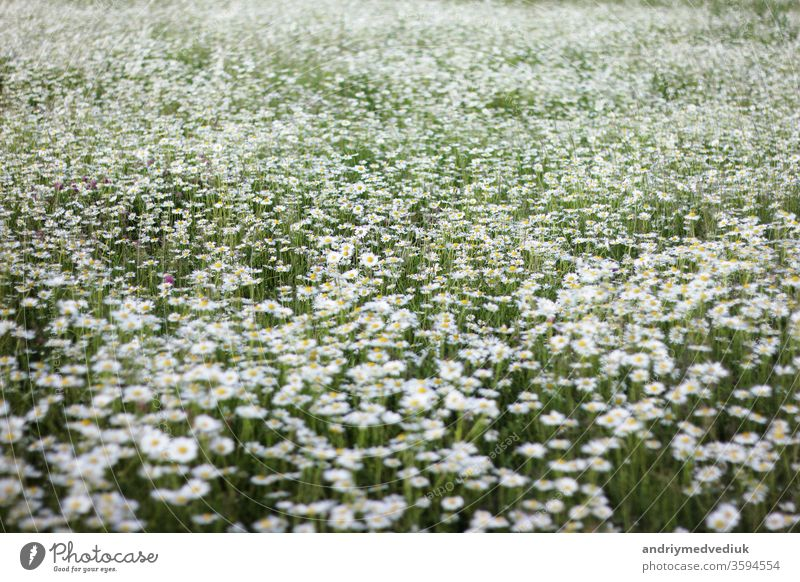 a large field of daisies. background with white flowers spring floral bloom garden nature natural growth summer sunlight daisy outdoors herb fresh chamomile