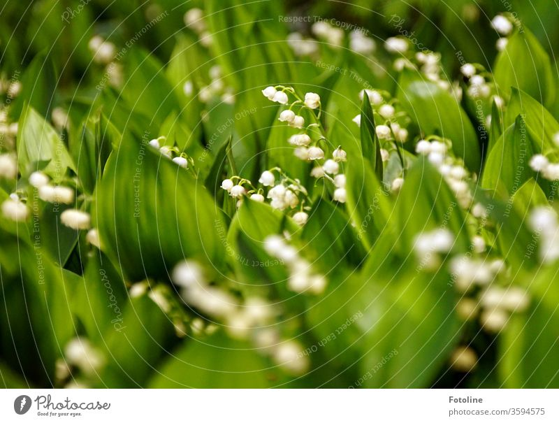 Many lilies of the valley stand like in a demo without the minimum distance Lily of the valley lily of the valley leaves flowers Colour photo White spring Plant
