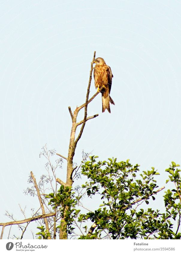 A bird of prey sits on the top of a dead tree and looks for its next prey. Kite Hawk Bird of prey birds Animal Sky Exterior shot Blue Grand piano Red kite
