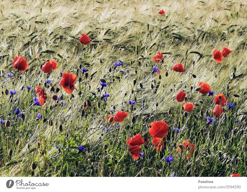 Poppies and cornflowers sway in a harmonious round dance with a barley field in the wind Cornfield grain Ear of corn Field Agriculture Grain Nature Summer