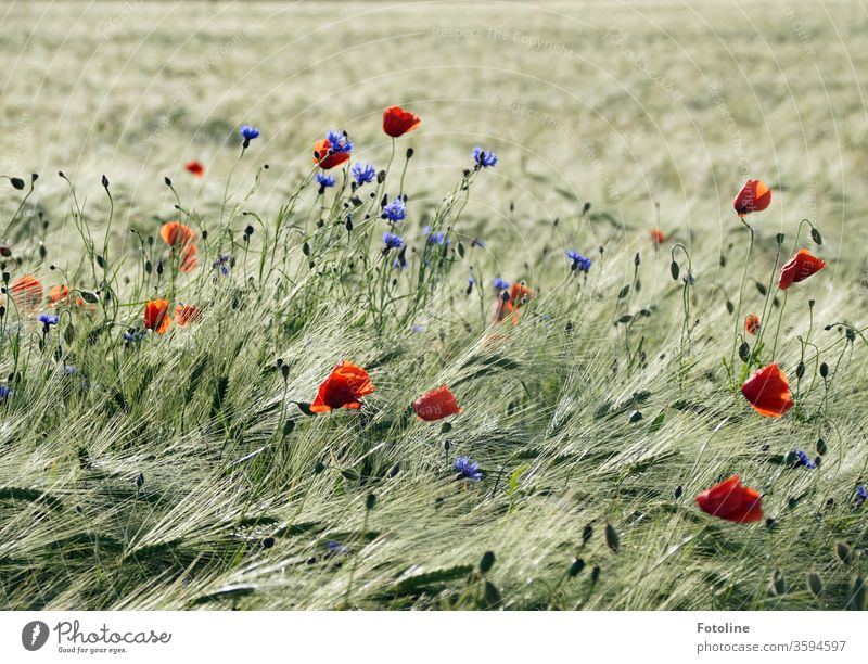 Poppies and cornflowers delight a field of barley with colourful colour clusters Cornfield grain Ear of corn Field Agriculture Grain Nature Summer Grain field