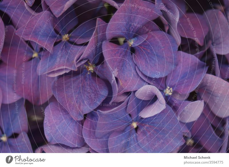 a purple garden hydrangea in full bloom nature flowers plant bloomed Nature Garden Colour photo Violet Macro (Extreme close-up) Beautiful