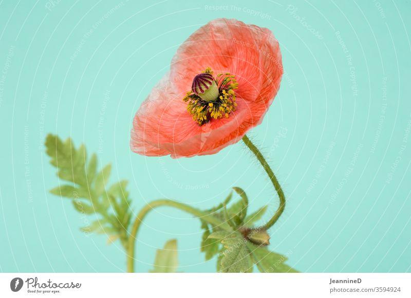 poppy flower Poppy Poppy blossom Interior shot Studio shot bleed Plant Blossoming Red Shallow depth of field turquoise Summer Still Life Deserted Close-up