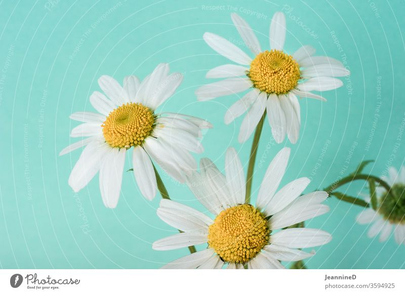three daisies with neutral background Interior shot Studio shot bleed Plant Blossoming turquoise Summer Still Life Deserted Close-up Detail ornamental med