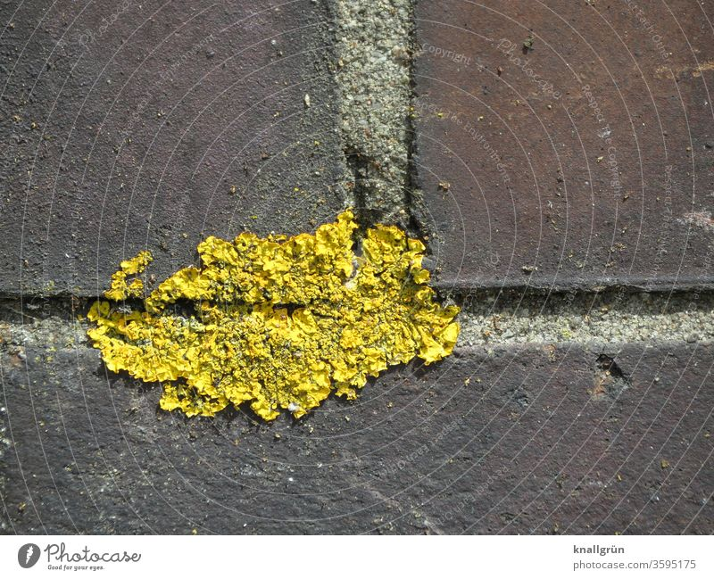 Close-up of yellow braid in a wall joint yellow lichen Plant Wall (barrier) Algae Mushroom Environment Nature Exterior shot Colour photo Yellow Lichen Brown