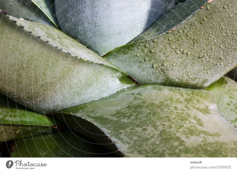 succulent green aloe vera Silver Succulent plants Botany Dew Drop Water Plant Cactus branching rudiment Nature trunk flaked Root juicy green plump Fat