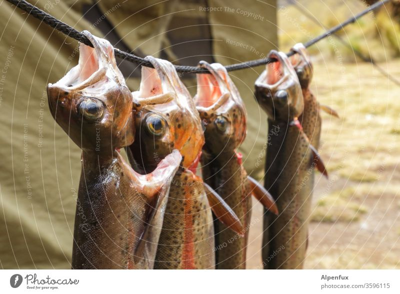 Just hang out on Sundays trout Rainbow trout Camping Death Nutrition Trout cake Fish Colour photo Food Healthy Eating Diet Herbs and spices Food photograph Tent