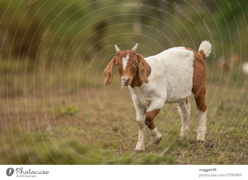 Young goat Goats Animal Exterior shot Colour photo Farm animal Day 1 Animal portrait Deserted Nature Pet Meadow Landscape Idyll Willow tree Looking Stand