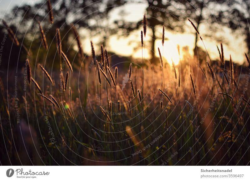 Grasses at sunset Sunset Grass blossom grasses Sunlight Back-light Meadow Nature Exterior shot Deserted Plant Summer Light Field golden light