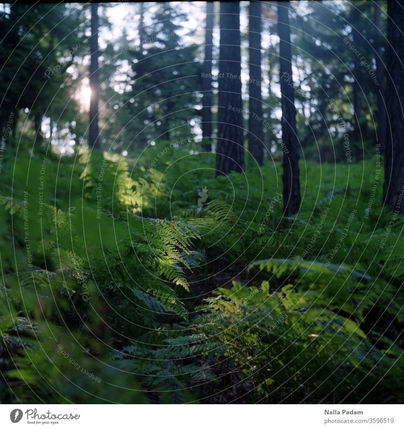 Sunrise in the forest Forest Fern Morning tree huts green Brown Deserted Analogue photo flora Nature Exterior shot Sunlight Light Sunbeam Colour photo Plant
