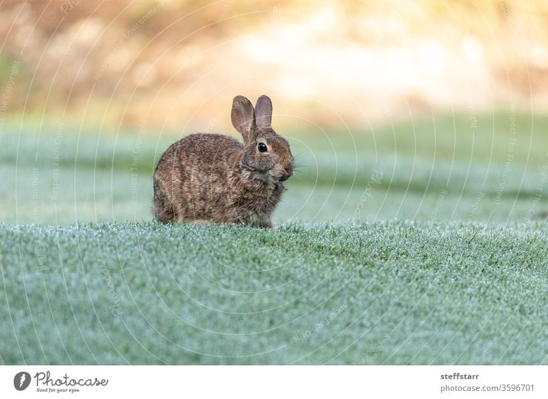 Marsh rabbit Sylvilagus palustris eats green grass Rabbit marsh rabbit eating wildlife Florida wildlife Fort Myers cute bunny bunny rabbit animal