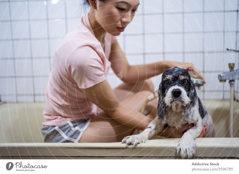 Woman washing purebred puppy in bathroom dog owner pet bathtub woman asian cute ethnic home domestic animal care canine hygiene female pedigree shower