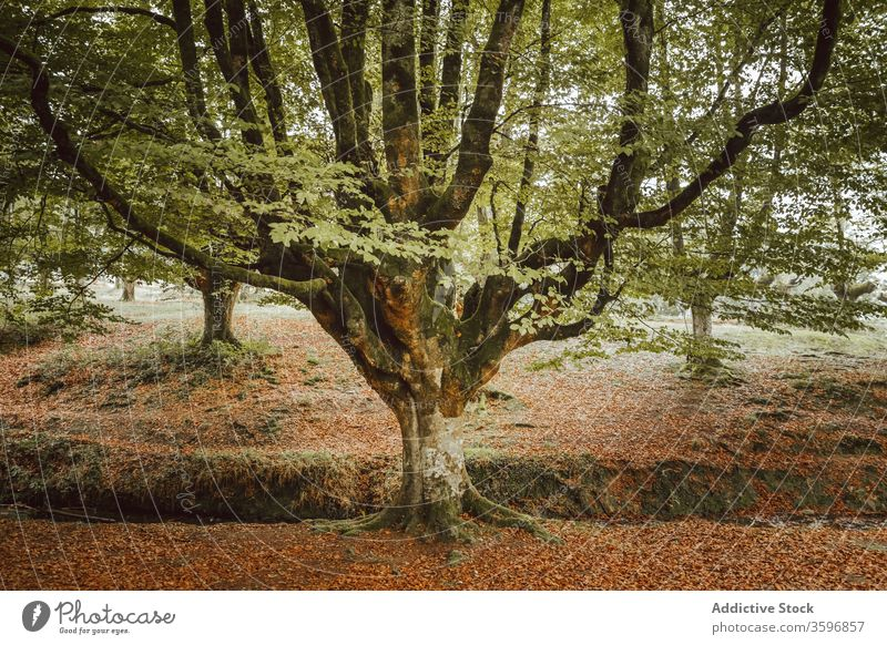 Big tree with large branches near creek in park trunk foliage stream woodland harmony idyllic nature autumn scenery untouched picturesque forest calm silent