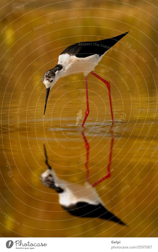 Black-winged looking for food in a pond bird black-winged himantopus stilt water animal mirror reflection white wildlife nature legs long shorebird background