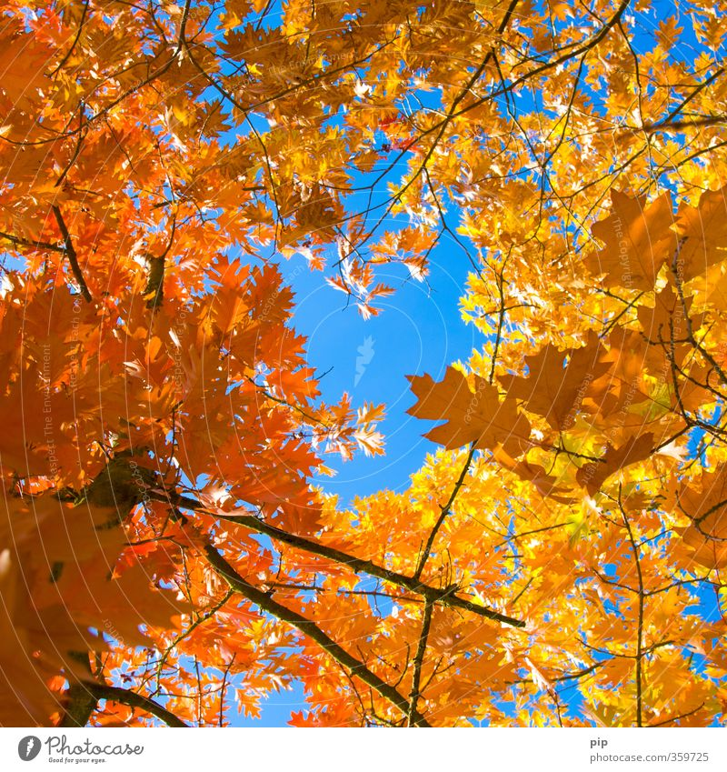 in the middle of autumn Environment Nature Plant Autumn Beautiful weather Tree Leaf Branch Blue Brown Yellow Gold Red Seasons Autumnal colours Above Tall Hollow