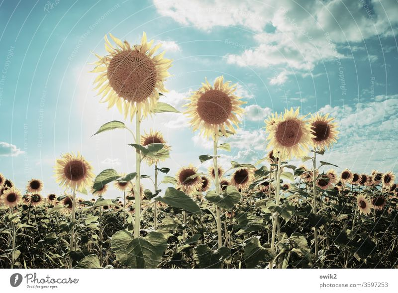 Sunny types Sunflower sunshine Illuminate rays out Exterior shot Sky Close-up flowers bleed Colour photo Deserted Plant Yellow Summer Nature Day