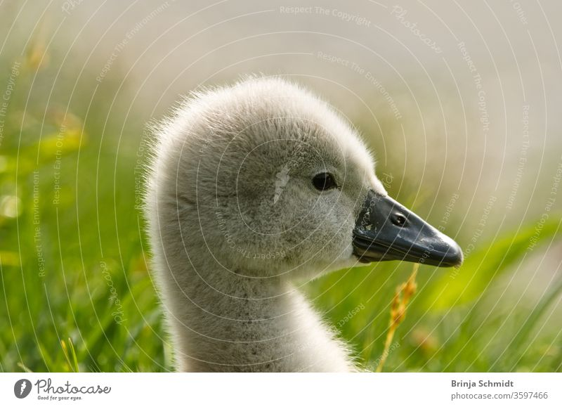 Portrait of a very small and fluffy little swan chick, just hatched, newborn, in profile with many details birds waterfowl Swan fledglings Chicken Diminutive