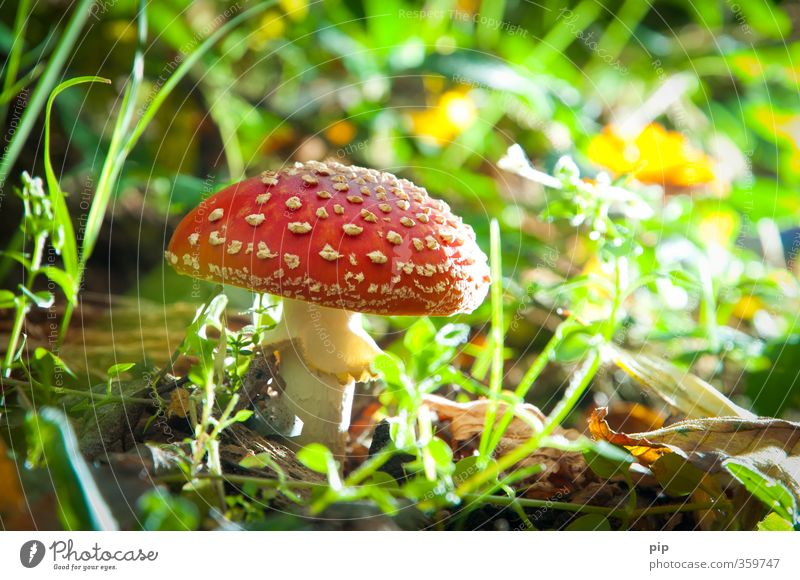flymushroom Environment Nature Plant Beautiful weather Grass Mushroom Amanita mushroom Undergrowth Forest Green Red Poison poisonous mushroom Dangerous Hat