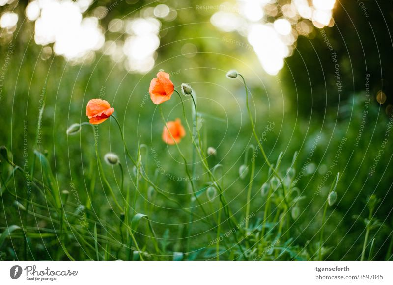 poppies Poppy blossom Corn poppy flowers Summer Red Meadow Plant Colour photo Deserted red poppy Exterior shot Idyll Field Shallow depth of field