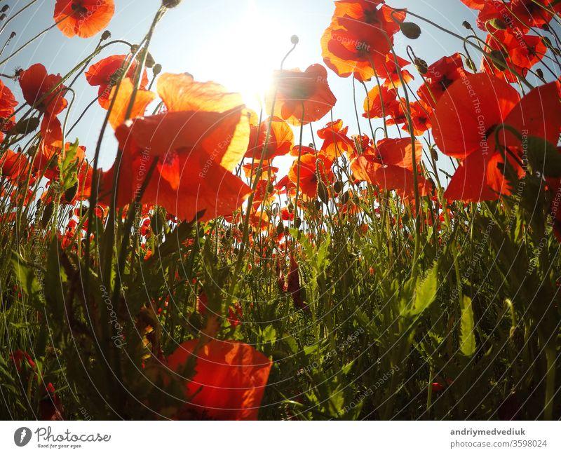 Field of bright red corn poppy flowers in summer. field meadow spring bloom blossom garden idyllic grass nature petal floral papaver rhoeas beautiful beauty