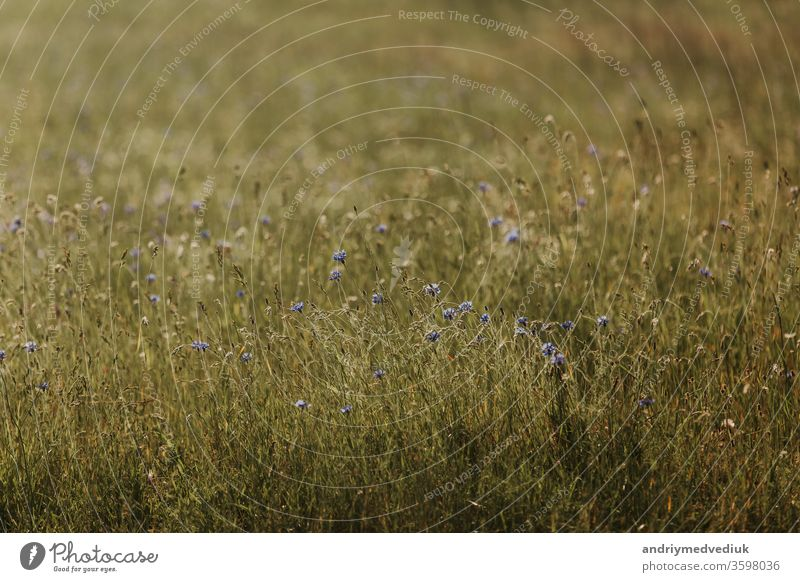 Blue flowers cornflowers. summer. field with flowers blue floral petal bloom blossom fresh nature season plant background beautiful beauty bright garden natural