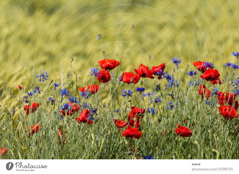 Poppies and cornflowers in a wheat field agricultural area blooming blossoms copy space Field winds bloom Bitter landscape meadow herb nature nobody poppy