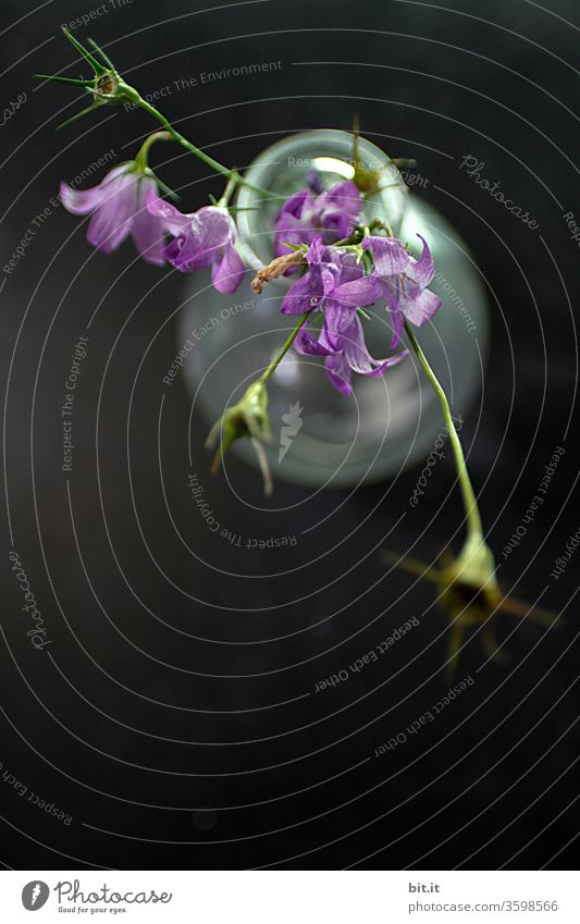 Purple bellflower with hanging green flower stems and wilted flower buds, seen from the bird's eye view, in a white, transparent glass vase on a black background. Bouquet of the beautiful, wild Campanula from above, decorative on dark table.
