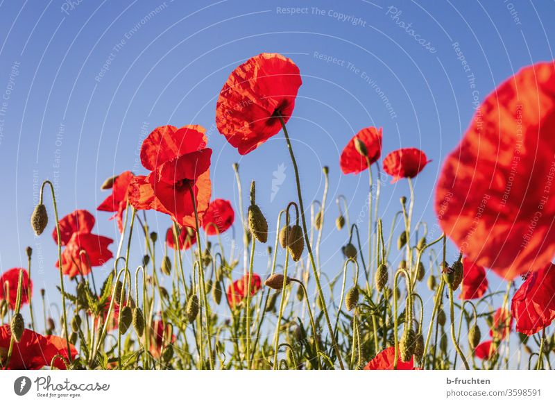 poppy field Poppy Field poppies Nature flowers Summer Meadow Red bleed already poppy flower Plant Exterior shot Environment