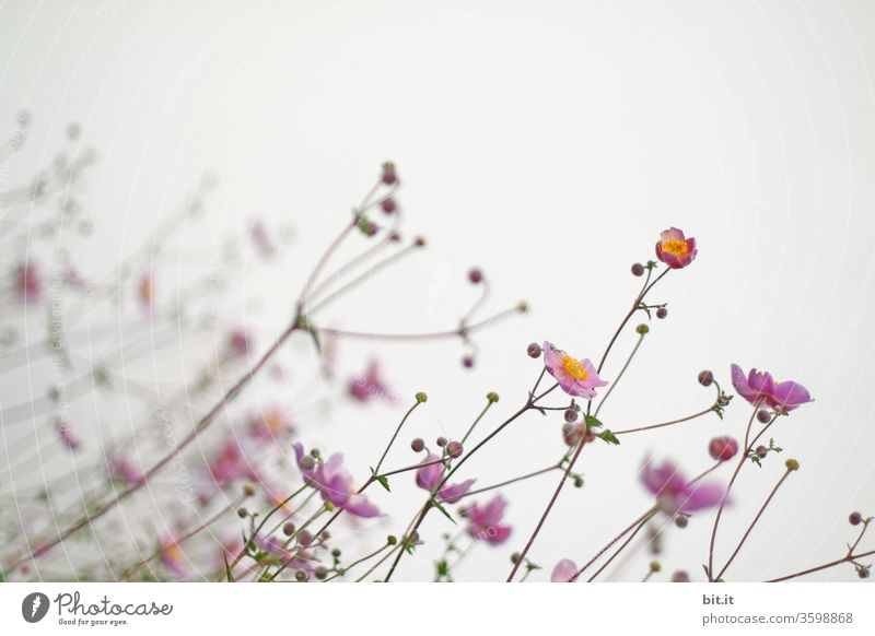 Sparse pink autumn anemone, with glabrous flower stems, small buds & delicate flowers, grows oblique to the light. Beautiful, light, filigree autumn flowers against a white background bend in the wind. Leaning, crooked, slanted flower stems, stems.