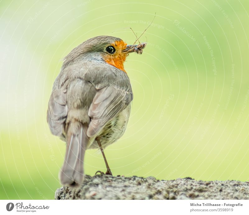 Robin with insect in beak Robin redbreast Erithacus rubecula Animal face Beak Eyes Grand piano feathers plumage birds Wild bird Wild animal Nature Legs Close-up