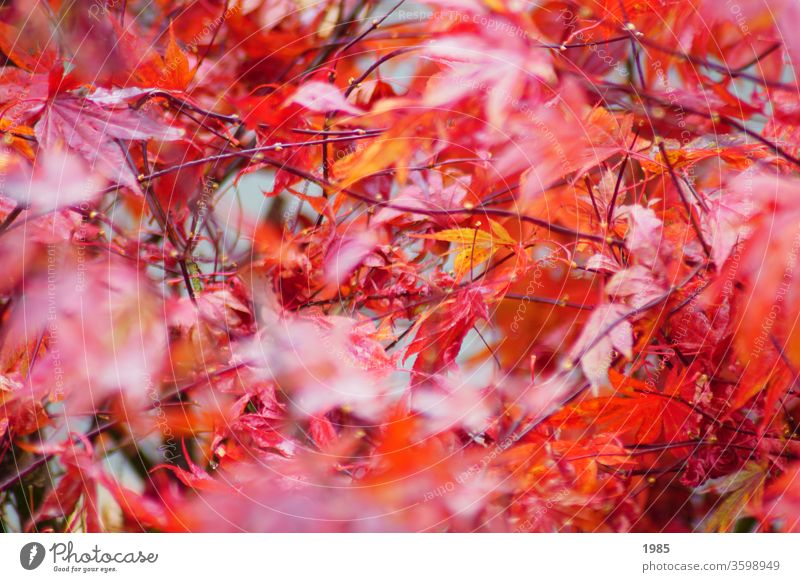 The maple in its autumn dress, bright red Maple tree maple leaves Red Autumn Exterior shot Colour photo Maple leaf Nature Deserted Day Autumn leaves Autumnal