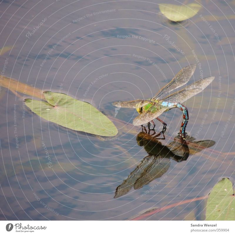 blue dragonfly Environment Nature Plant Animal Water Spring Summer Leaf Water lily leaf Lakeside River bank Bog Marsh Pond Brook boombeck Wing Dragonfly