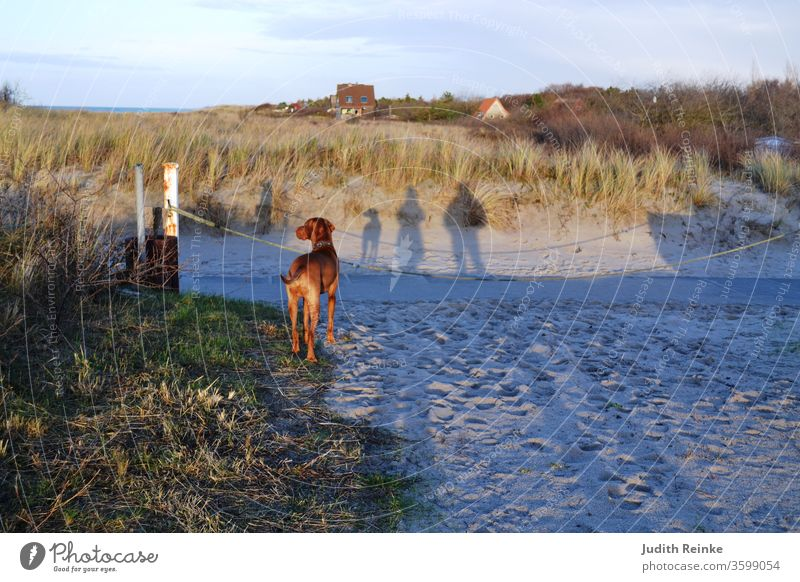 Family walk on the beach - woman, man and dog as shadow; dog (Magyar Vizsla) photographed from behind shadow plays Walk on the beach Family dog family dog