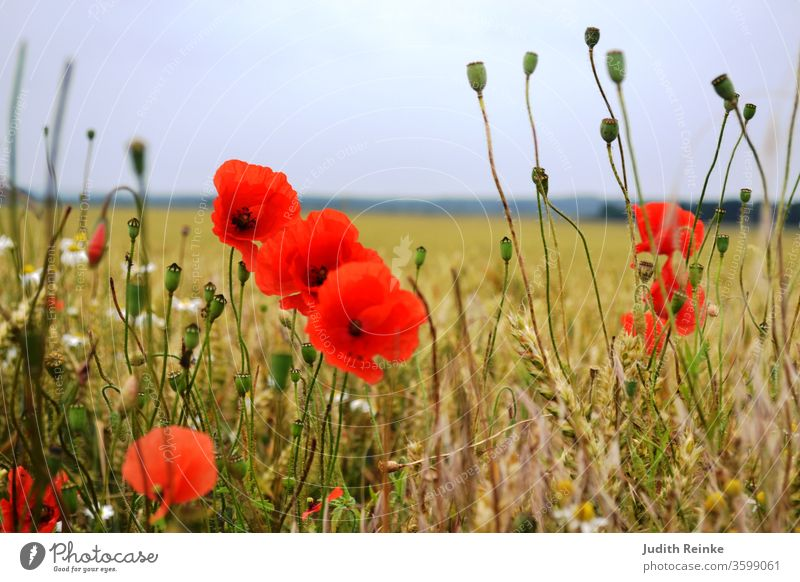 Poppy blossoms and seed capsules at the edge of the field poppy seed capsules Field flowers Country life country idyll