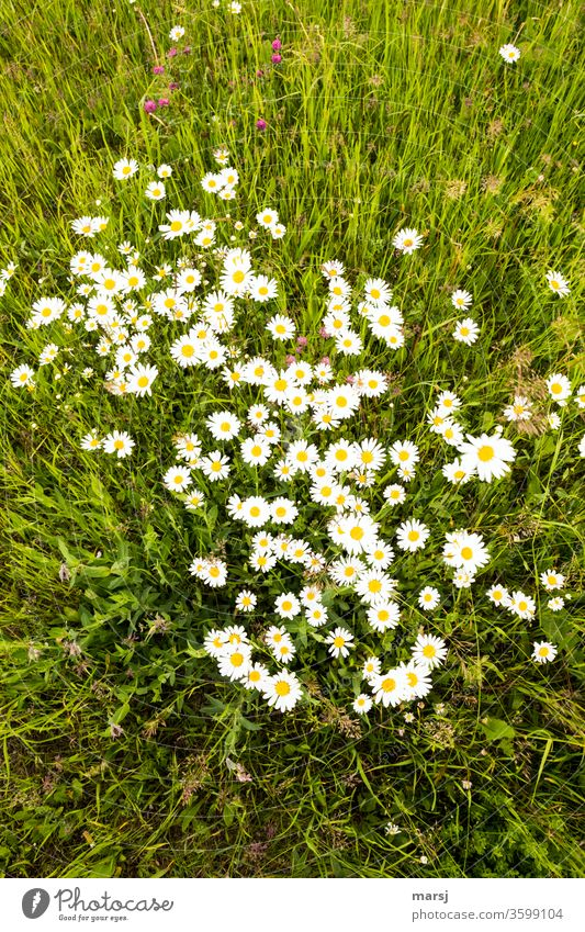 Meadow with wild daisies and a little red clover, from the bird's eye view marguerites flowers blossom Grass Summer Growth Seldom spring Nature natural