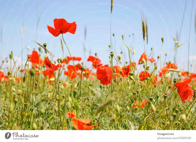 Poppy field and wheat. Close-up of red poppies blooming on field against sky. Stripes of poppy flowers. Part of the fields with poppy instead of barley or wheat monocultures in Rhineland-Palatinate, Germany. Organic cultivation